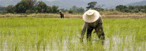 Rijstveld voor koolhydraatarm eten